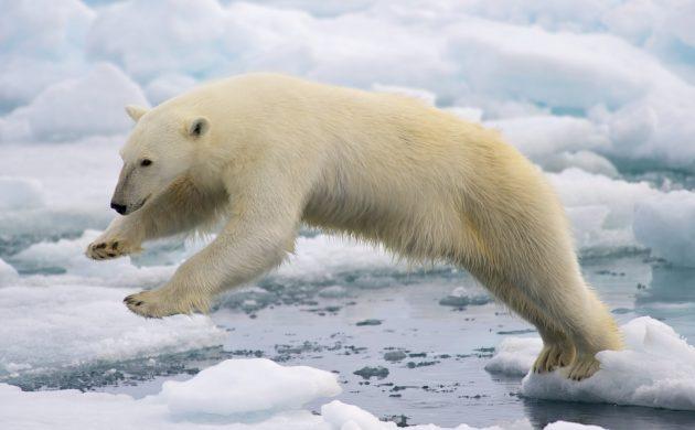 白熊が獲物をとるためにダイブている写真